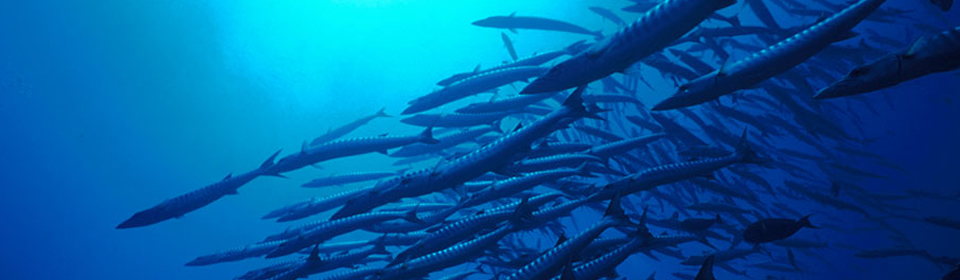 Swim with Barracudas